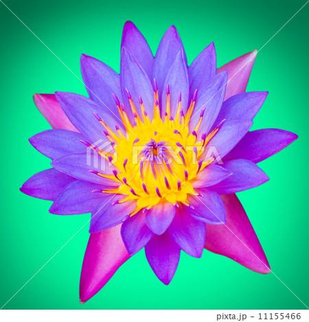 Lotus flower on a green backgroundの写真素材 [11155466] - PIXTA