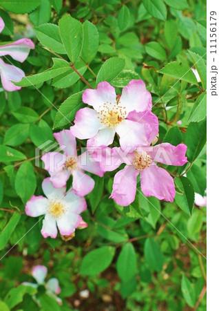 春の山野の花・自然交雑自生種としては美しい桜薔薇の優しい花・横位置 11156179