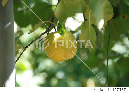 りんご狩り りんご畑 りんご園 11157527