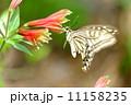 アゲハ蝶 11158235
