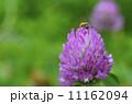 赤詰草 蜂 花の写真 11162094