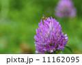 赤詰草 蜂 花の写真 11162095