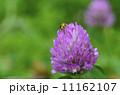 赤詰草 蜂 花の写真 11162107