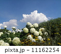 ハイドランジアアナベルというアジサイの白い花と白い雲 11162254