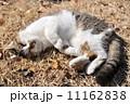 猫 11162838