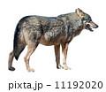 おおかみ オオカミ 狼の写真 11192020