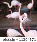 ふらみんご フラミンゴ 鳥類の写真 11204371