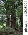 梅雨の太郎杉(やや遠景) (偕楽園)~左正面 11206004