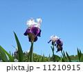 ジャーマンアイリス 快晴 花の写真 11210915