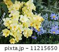 アサギスイセン フリージア ブルーデージーの写真 11215650