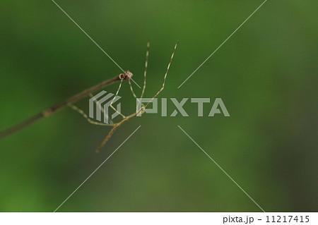 生き物 昆虫 ナナフシ、正式な和名は『ナナフシモドキ』で『ナナフシ』という名前の昆虫は存在しないようです。これは子供です 11217415
