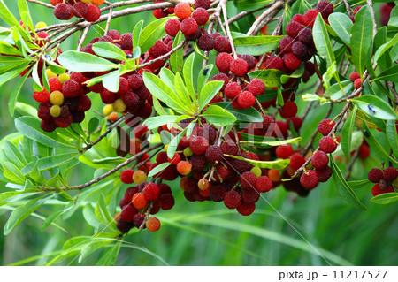 徳島県の木 11217527