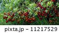 果実 山桃 実の写真 11217529