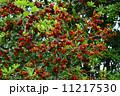 果実 山桃 実の写真 11217530