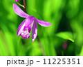 紫蘭と新緑の共演 11225351