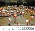 フラミンゴ 鳥 鳥類の写真 11235559