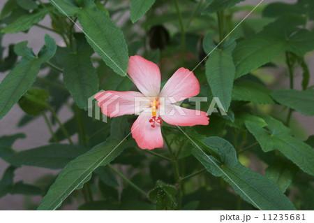 赤花綿 アベルモスクスとも呼ばれます。 11235681