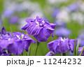 花菖蒲 11244232