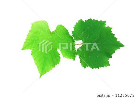 葉の背景素材・デラウェアの葉と巨峰の葉・1枚ずつ横位置 11255675