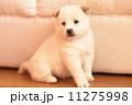 仔犬 戌 ぺットの写真 11275998