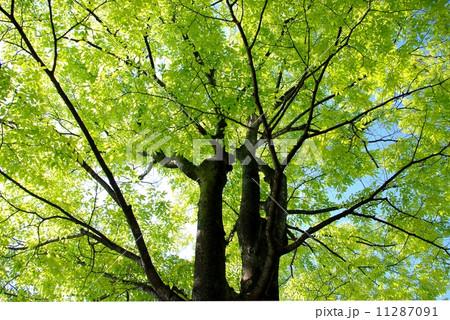 新緑の抱擁 11287091