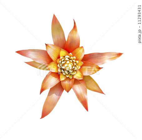 Aechmes Fasciata Bromeliad flowerの写真素材 [11293431] - PIXTA