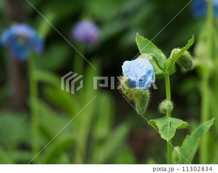 ヒマラヤの青いケシのつぼみ 11302834
