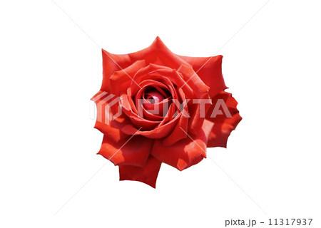赤い薔薇 11317937