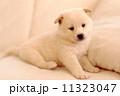 イヌ 仔犬 犬の写真 11323047