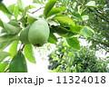 花梨 花梨の実 果実の写真 11324018