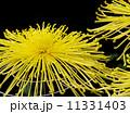 菊花 鑑賞菊 花の写真 11331403