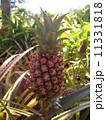 果物 パイン パイナップルの写真 11331818
