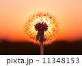 タンポポ 夕日 夕焼の写真 11348153