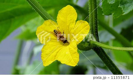 きゅうりの花・ミツバチの受粉 11355871