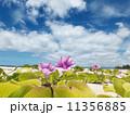 ハワイのハマヒルガオ 11356885