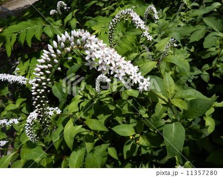 虎の尾っぽのように立派な白い花が特長。オカトラノオの花である。 11357280