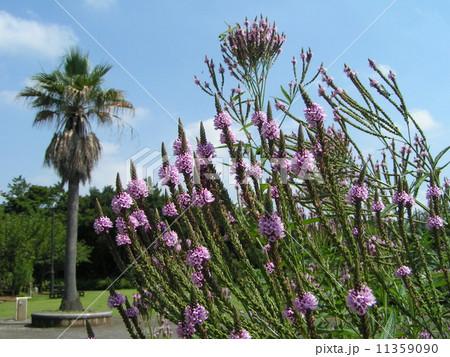 穂状青い花はバーベナ・ハスタータの花と椰子の木 11359090