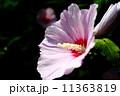 アメリカフヨウ 11363819