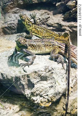 サンシャイン水族館|フィリピンホカケトカゲ 11364872