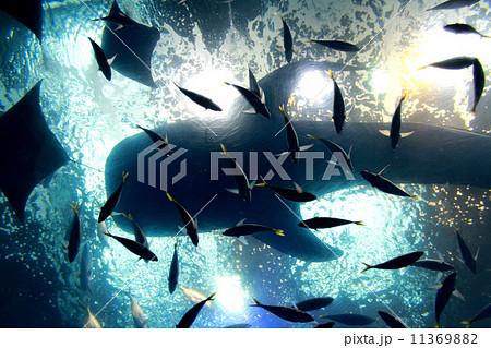 美ら海水族館下から見たジンベイザメのシルエット 11369882