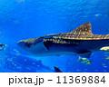 美ら海水族館のジンベイザメ 11369884
