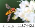 ホソヒラタアブ 虫 花の写真 11374428