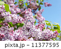 pink lilac 11377595