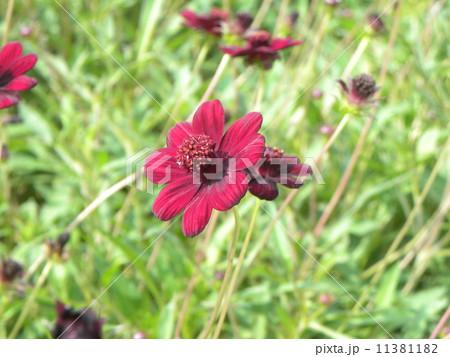 血の色のような赤い花はゲウム'ミセス ブラッドショウー 11381182