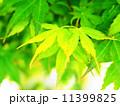 新緑のもみじ 11399825
