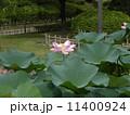 千葉公園 オオガハス 花の写真 11400924