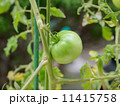 家庭菜園のミニトマト 11415758