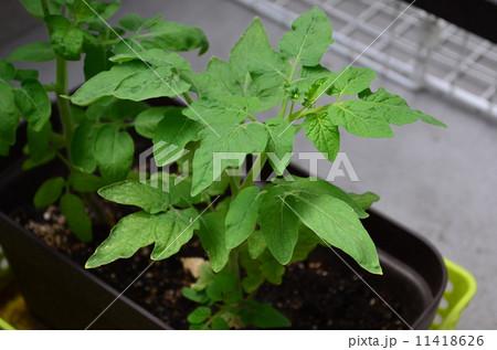 ミニトマトの葉っぱ 11418626