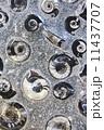 アンモナイトの化石 11437707