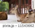 東大寺 中門 鹿の写真 11543662